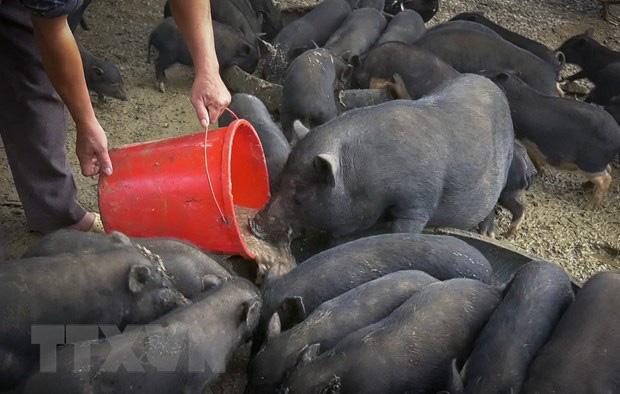 """Giá heo hơi hôm nay 4/5: Dịch tả làm chết 200 con lợn bản, giá lợn lại """"lên đồng"""" - Ảnh 2."""