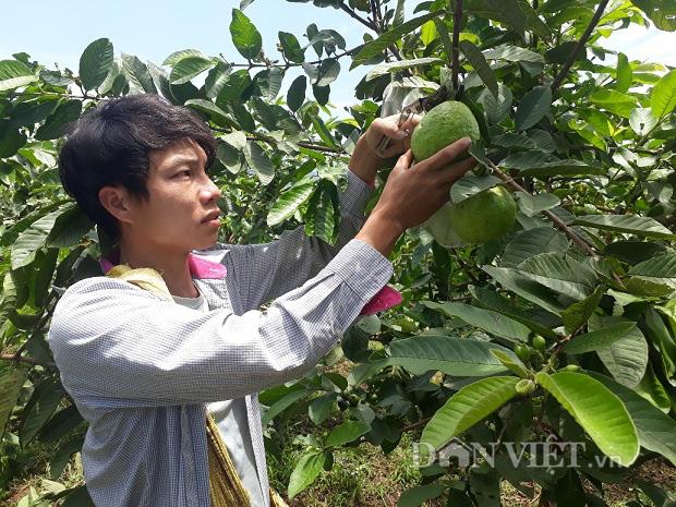 Lai Châu: Cất bằng kỹ sư ở nhà trồng ổi lê, 9X lãi 200 triệu/năm - Ảnh 1.