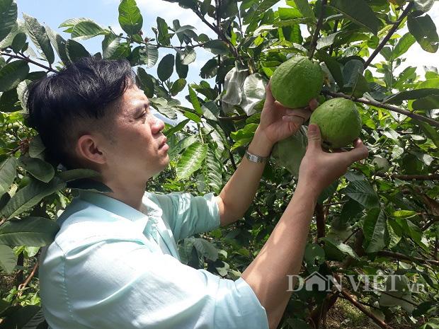 Lai Châu: Cất bằng kỹ sư ở nhà trồng ổi lê, 9X lãi 200 triệu/năm - Ảnh 3.