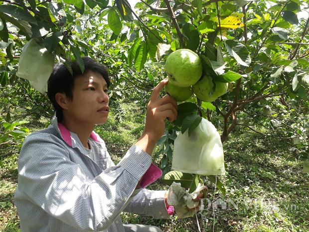 Lai Châu: Cất bằng kỹ sư ở nhà trồng ổi lê, 9X lãi 200 triệu/năm - Ảnh 4.