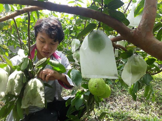 Lai Châu: Cất bằng kỹ sư ở nhà trồng ổi lê, 9X lãi 200 triệu/năm - Ảnh 2.