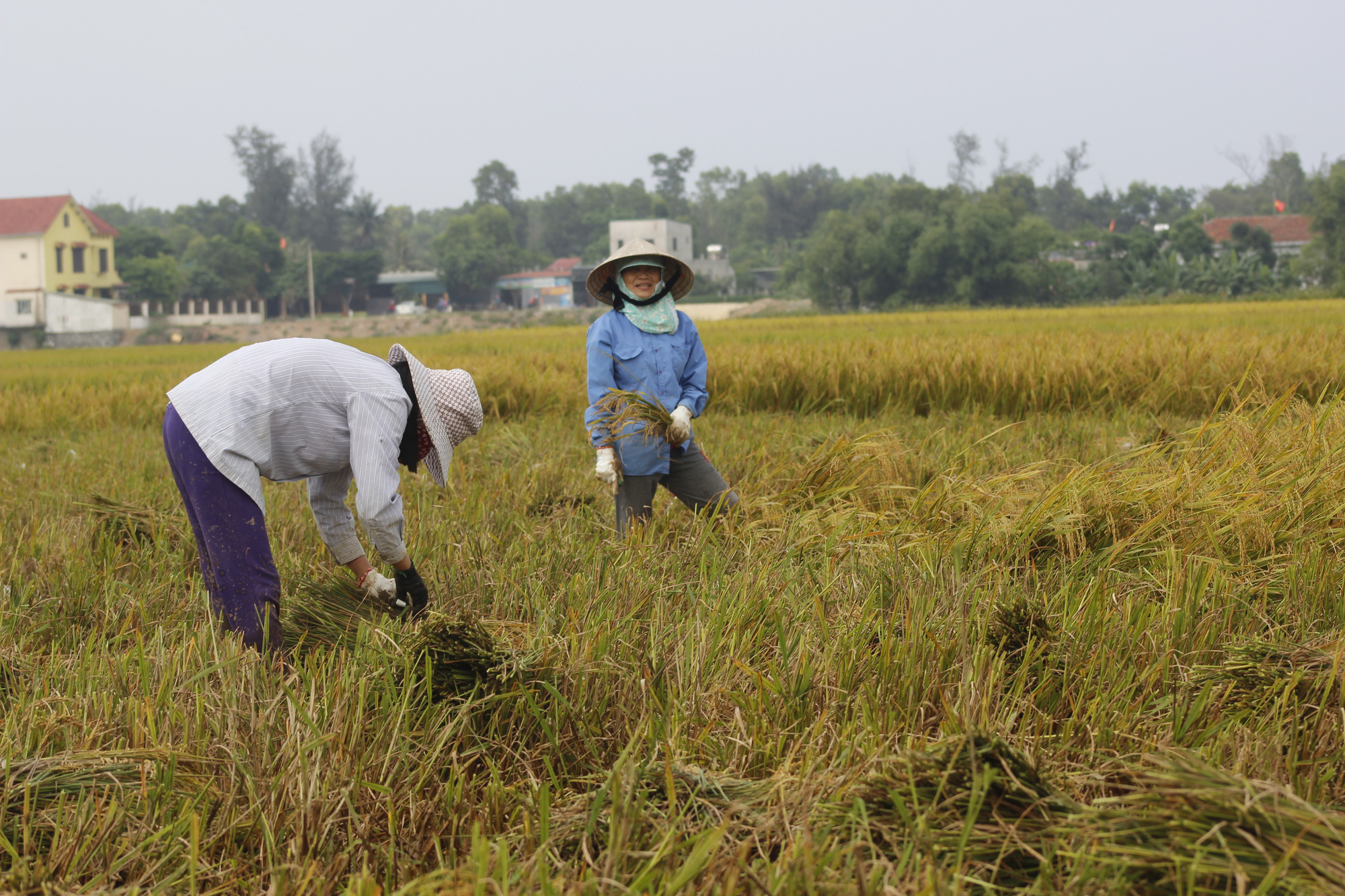 Quảng Bình: Nông dân vật vã gặt lúa dưới cái nắng  40 độ C  - Ảnh 4.