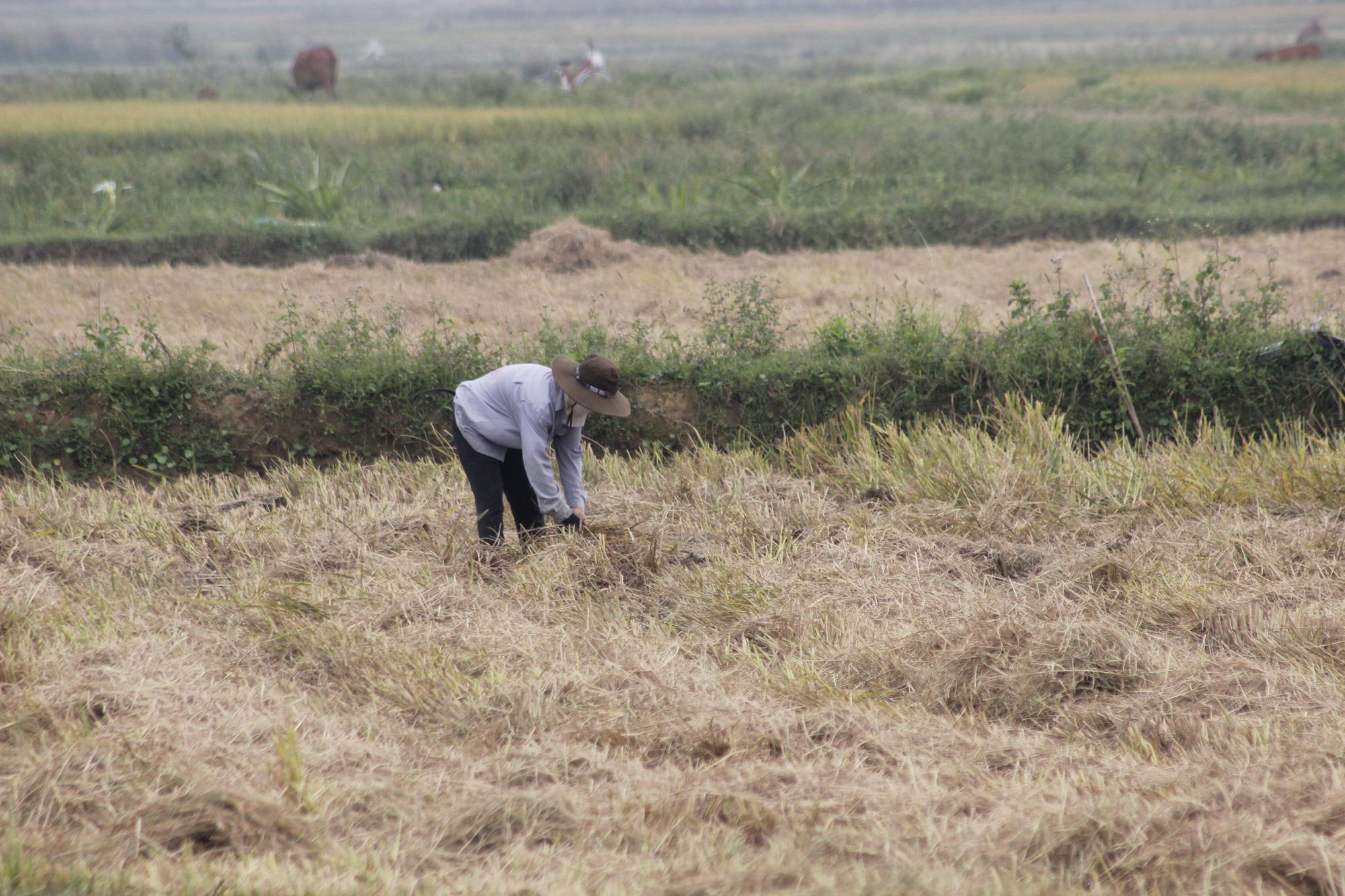 Quảng Bình: Nông dân vật vã gặt lúa dưới cái nắng  40 độ C  - Ảnh 5.