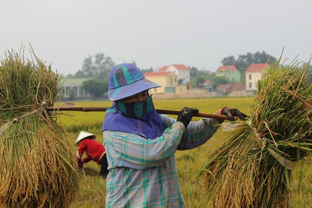 Quảng Bình: Nông dân vật vã gặt lúa dưới cái nắng  40 độ C  - Ảnh 2.