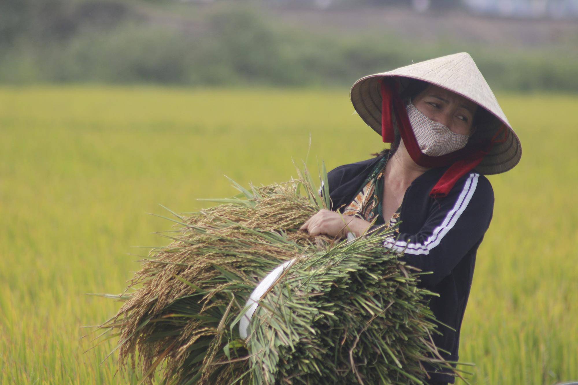 Quảng Bình: Nông dân vật vã gặt lúa dưới cái nắng  40 độ C  - Ảnh 1.