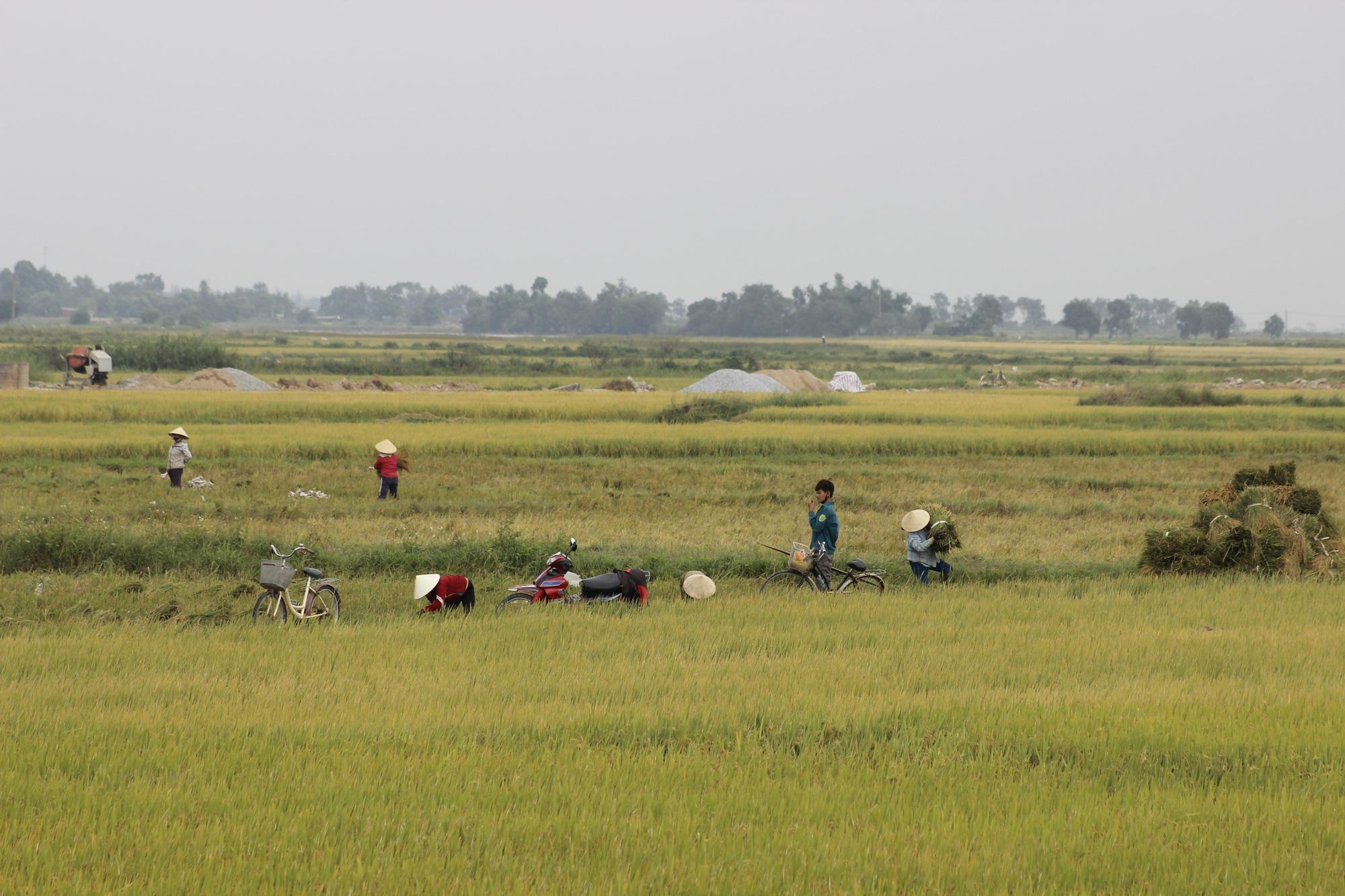 Quảng Bình: Nông dân vật vã gặt lúa dưới cái nắng  40 độ C  - Ảnh 6.