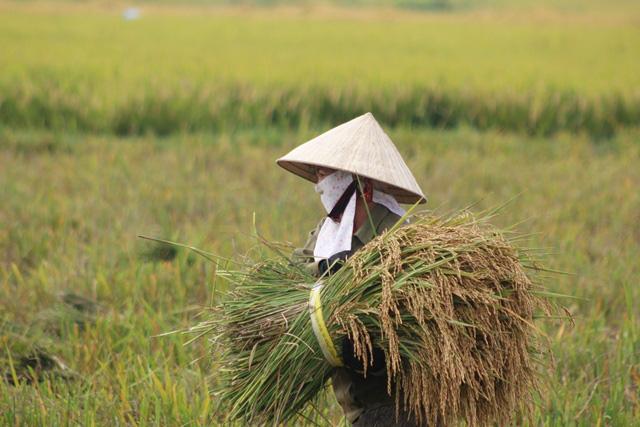 Quảng Bình: Nông dân vật vã gặt lúa dưới cái nắng  40 độ C  - Ảnh 3.