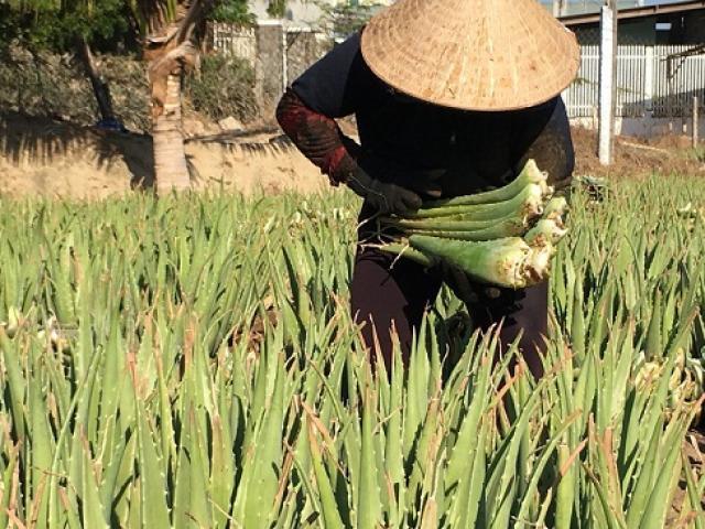 Ninh Thuận: Trồng thứ cây càng nắng nóng bẹ càng mập, bán đắt hàng