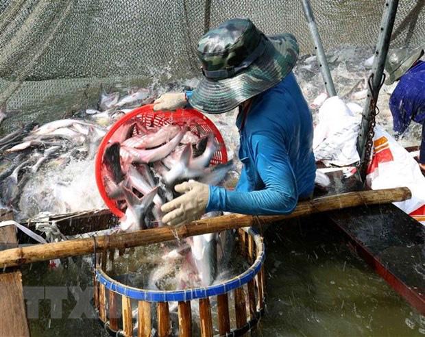 Ngành cá tra có khả năng phục hồi hoàn toàn từ quý 3 - Ảnh 1.