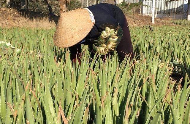 Ninh Thuận: Trồng thứ cây càng nắng nóng bẹ càng mập, bán đắt hàng - Ảnh 3.