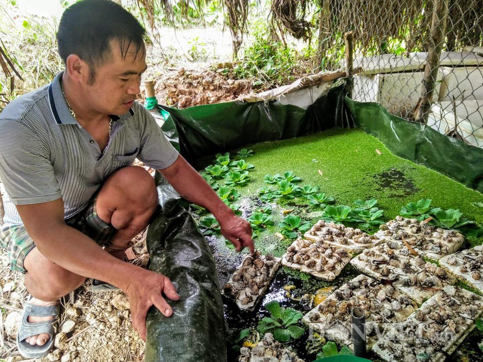 Vua ốc bươu đen xứ Nghệ, mỗi năm thu 500 triệu đồng - Ảnh 2.