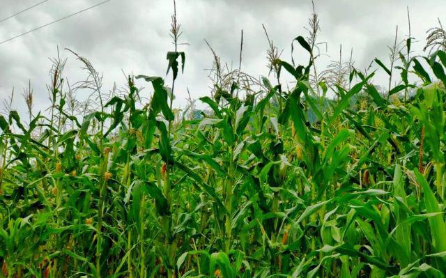 Hàng triệu con châu chấu lưng vàng đang tàn phá hoa màu ở Mường Lát, Thanh Hoá - Ảnh 4.