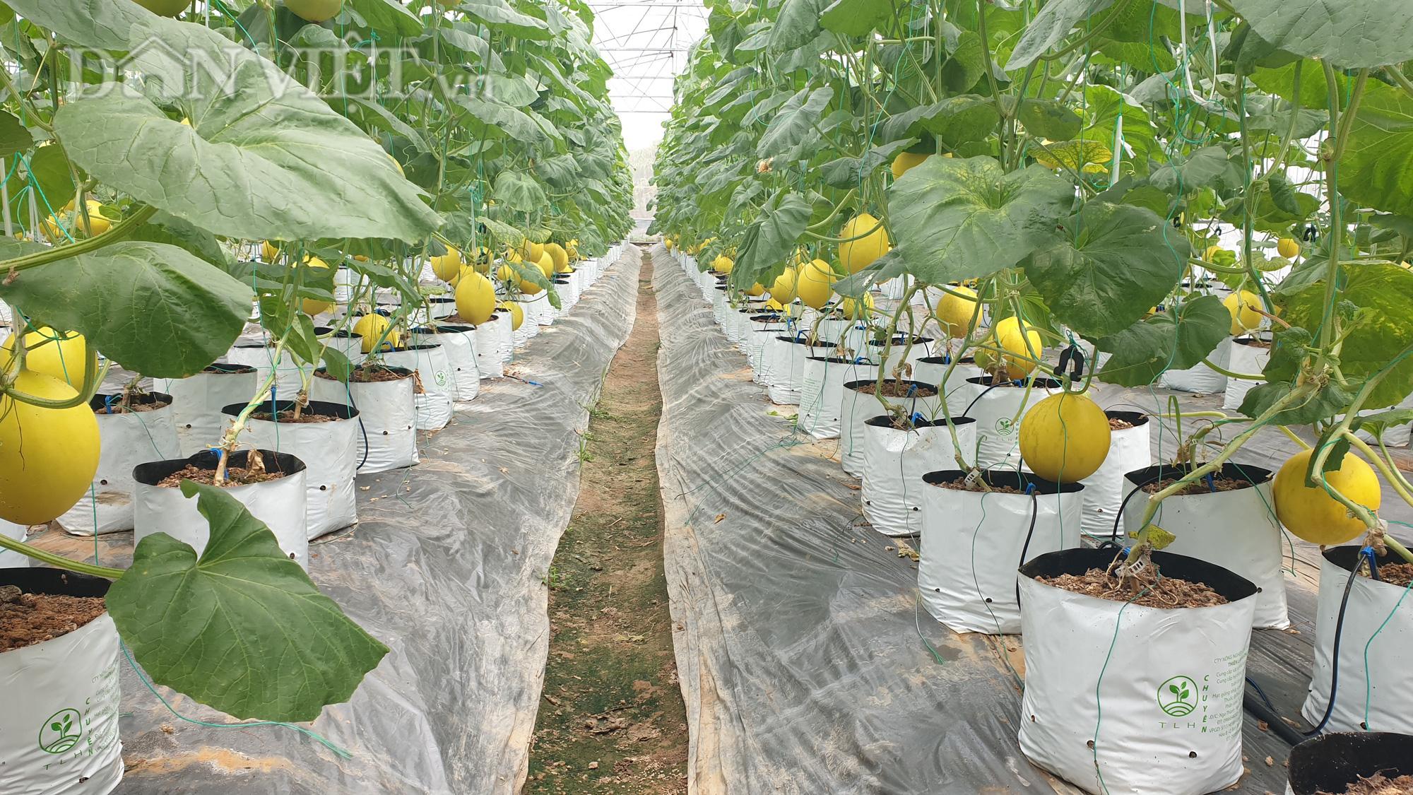 Thanh Hóa: U70 trồng dưa vàng công nghệ cao, ngay vụ đầu đã có gần 50 triệu - Ảnh 2.