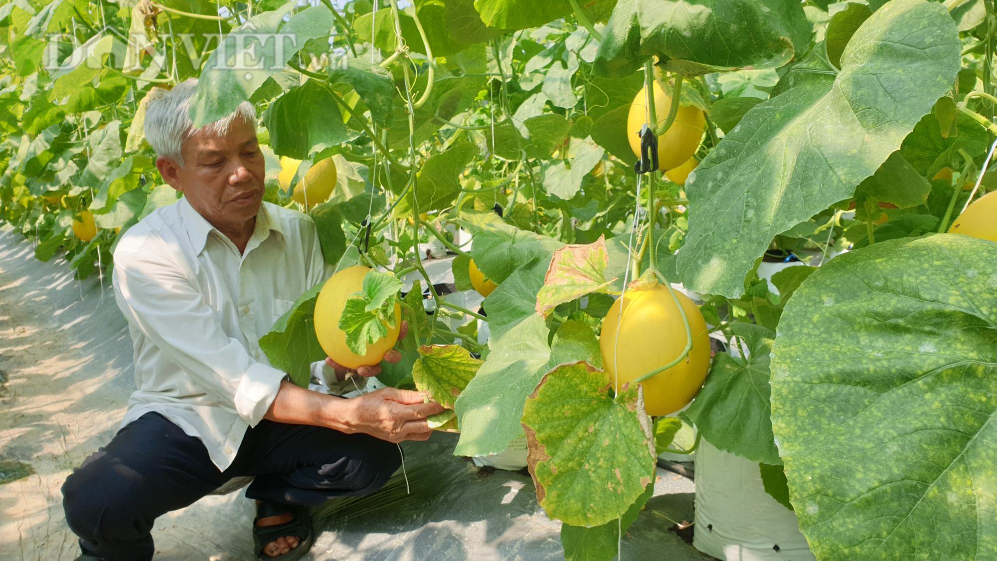Thanh Hóa: U70 trồng dưa vàng công nghệ cao, ngay vụ đầu đã có gần 50 triệu - Ảnh 3.