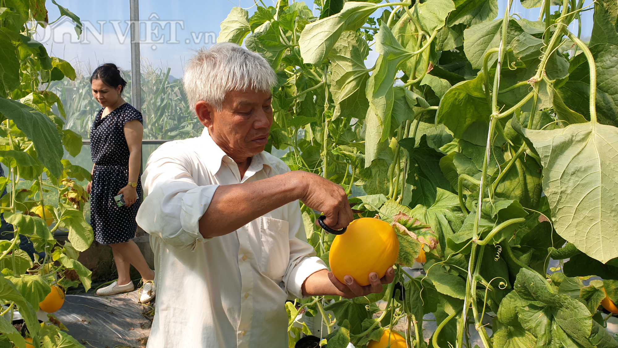 Thanh Hóa: U70 trồng dưa vàng công nghệ cao, ngay vụ đầu đã có gần 50 triệu - Ảnh 4.