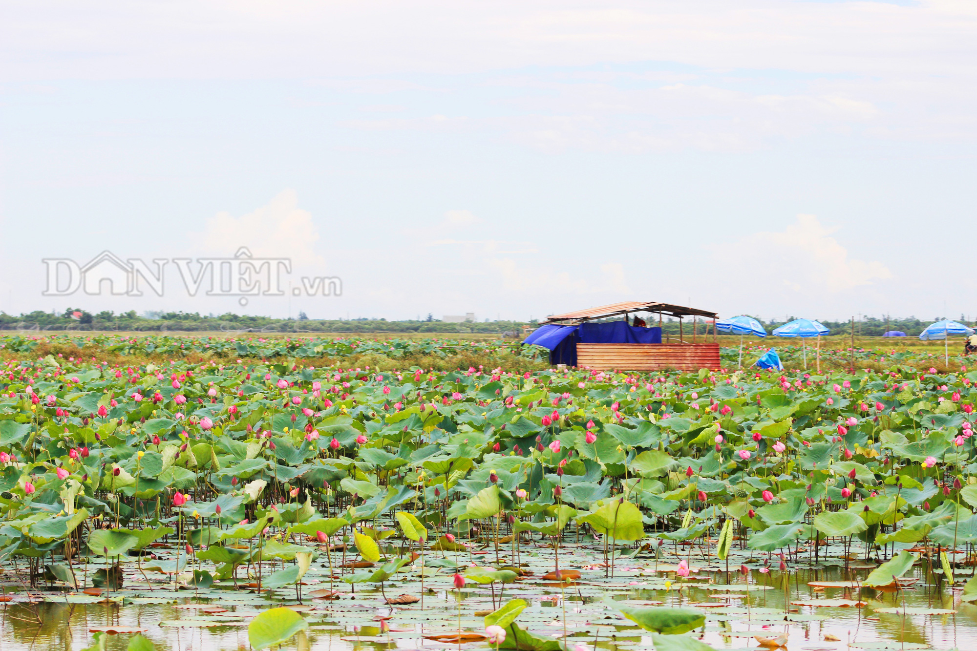 Mô hình trồng sen kết hợp nuôi cá, du lịch sinh thái của anh Đỗ Quang Bổng. Ảnh: PV
