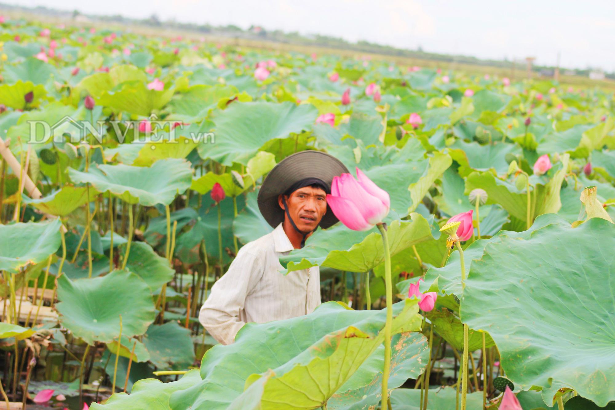 Anh Đỗ Quang Bổng hằng ngày lội xuống đầm sen để chăm sóc cho cây và nuôi cá. Ảnh: PV