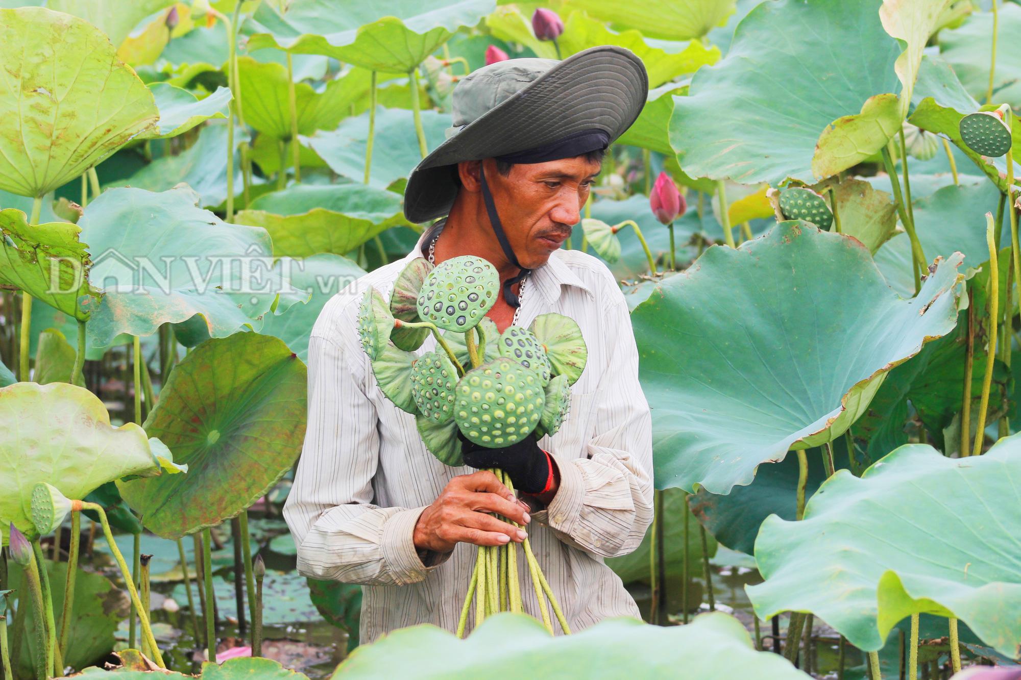 Anh Đỗ Quang Bổng lội bùn thu hoạch đài sen. Ảnh: PV