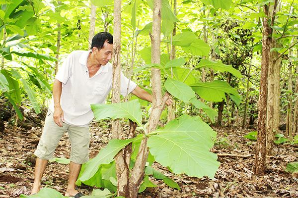 Bất ngờ ở Đồng Nai lại có rừng gỗ tếch cổ thụ lớn nhất cả nước liên quan đến bà Trần Lệ Xuân  - Ảnh 3.