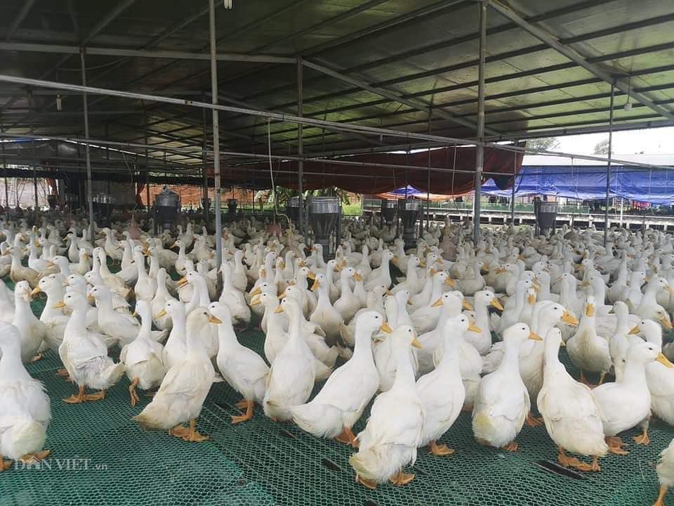 Giá gia cầm hôm nay 11/6: Giá gà, vịt thịt có dấu hiệu chững lại, gà trắng dễ bán - Ảnh 2.