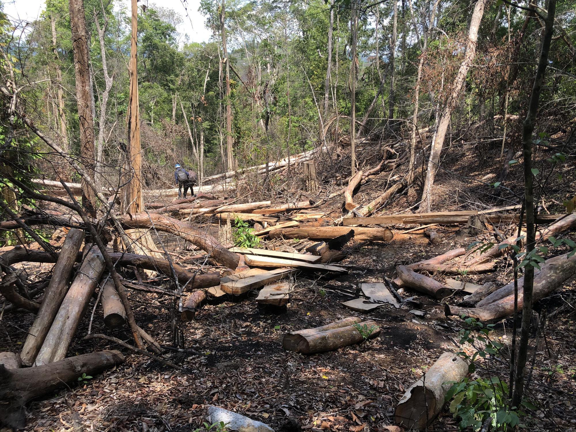 Gia Lai: Phá rừng quy mô lớn, lâm tặc ngang nhiên đốt gốc phi tang - Ảnh 1.