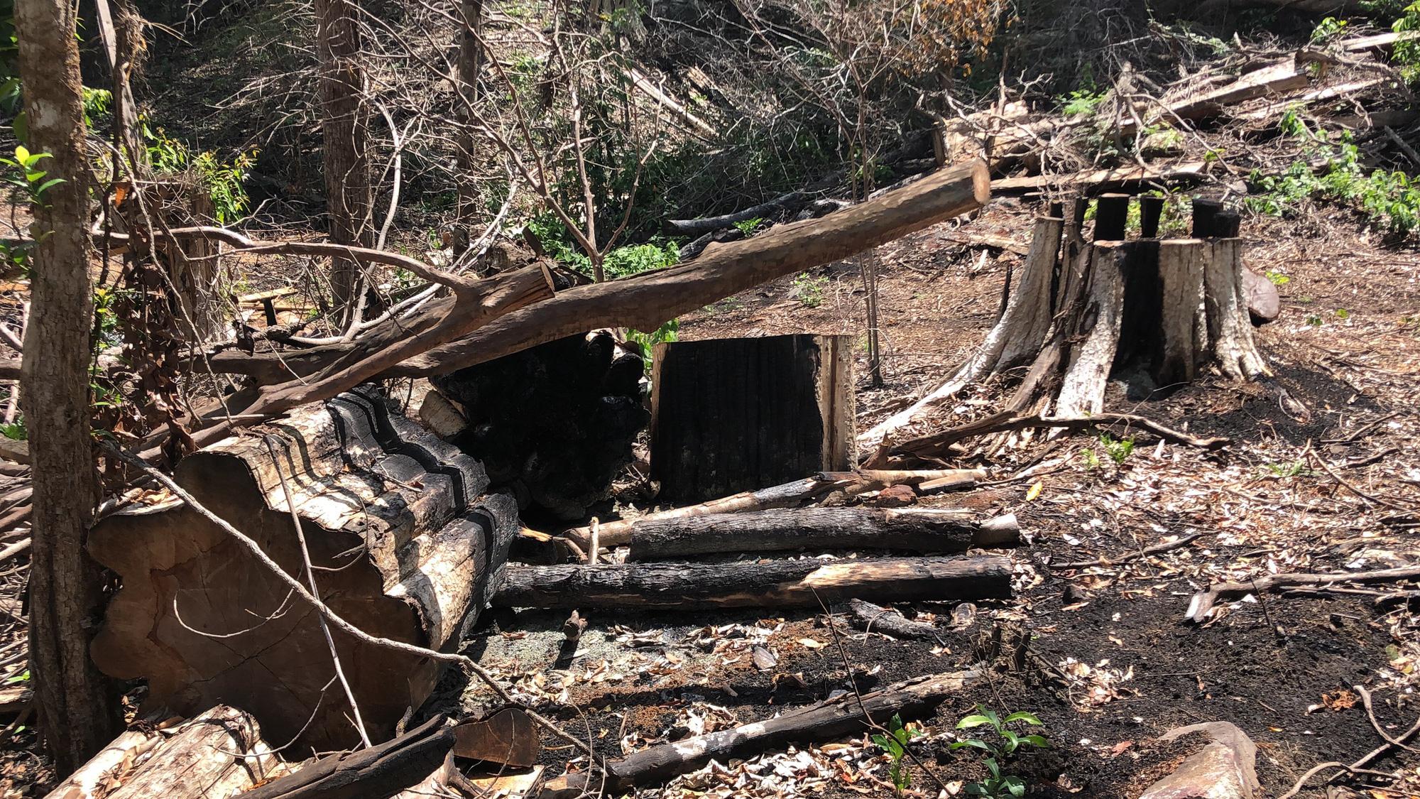 Gia Lai: Phá rừng quy mô lớn, lâm tặc ngang nhiên đốt gốc phi tang - Ảnh 4.