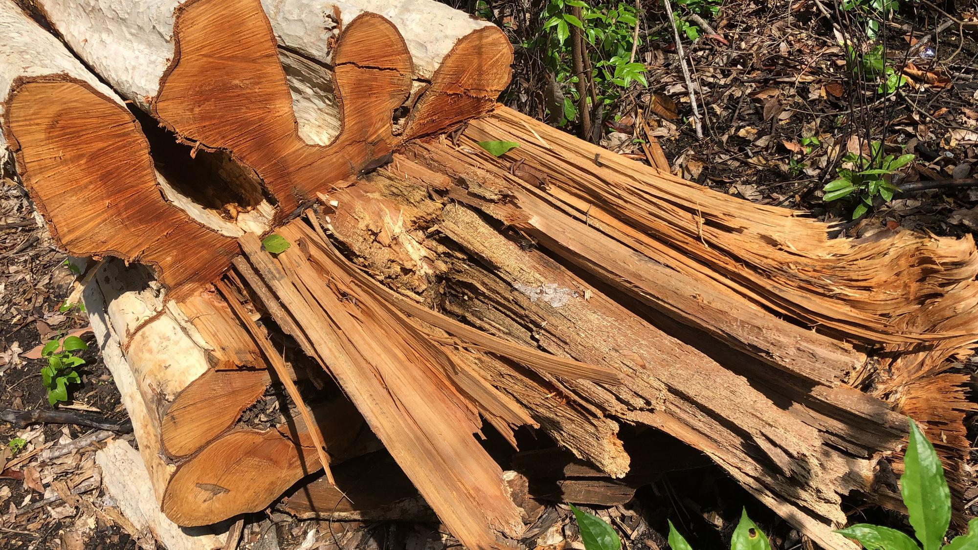 Gia Lai: Phá rừng quy mô lớn, lâm tặc ngang nhiên đốt gốc phi tang - Ảnh 2.