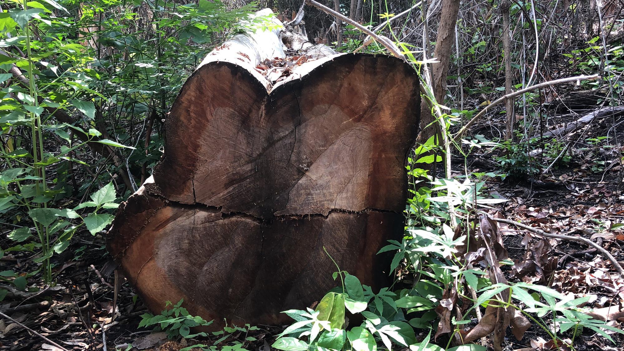 Gia Lai: Phá rừng quy mô lớn, lâm tặc ngang nhiên đốt gốc phi tang - Ảnh 3.