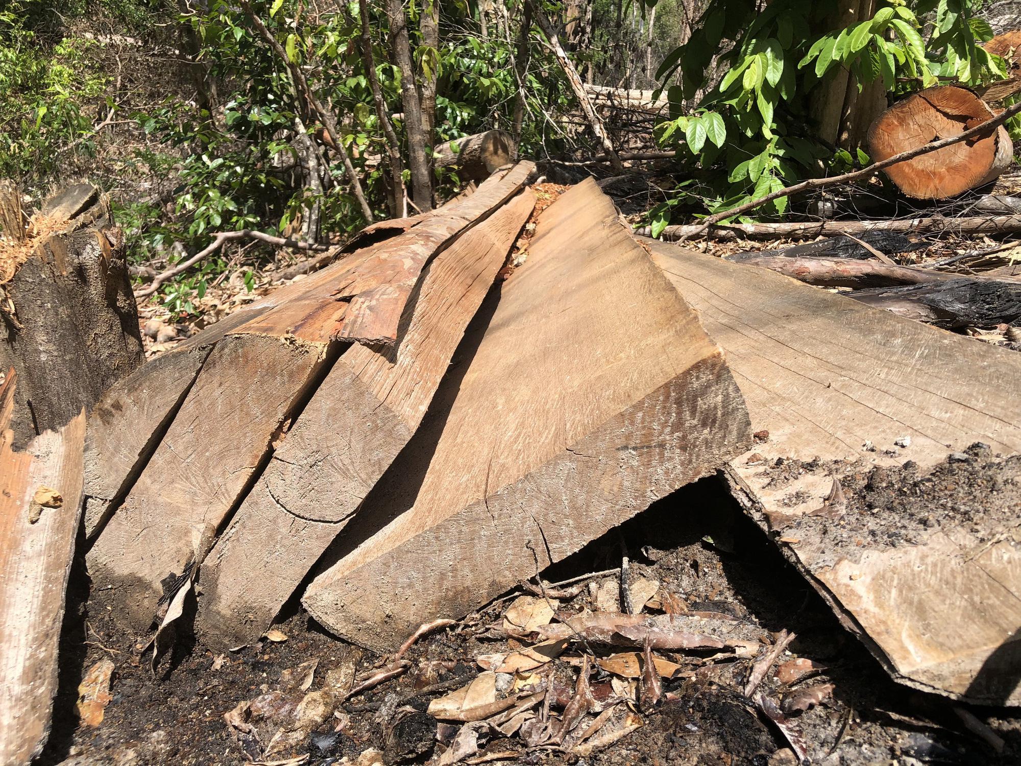 Gia Lai: Phá rừng quy mô lớn, lâm tặc ngang nhiên đốt gốc phi tang - Ảnh 6.