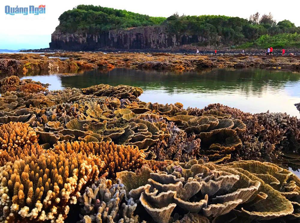 Quảng Ngãi: Rạn san hô khổng lồ bất ngờ hiện ra, đẹp lung linh, cứ ngỡ trong mơ chứ không phải thực - Ảnh 3.