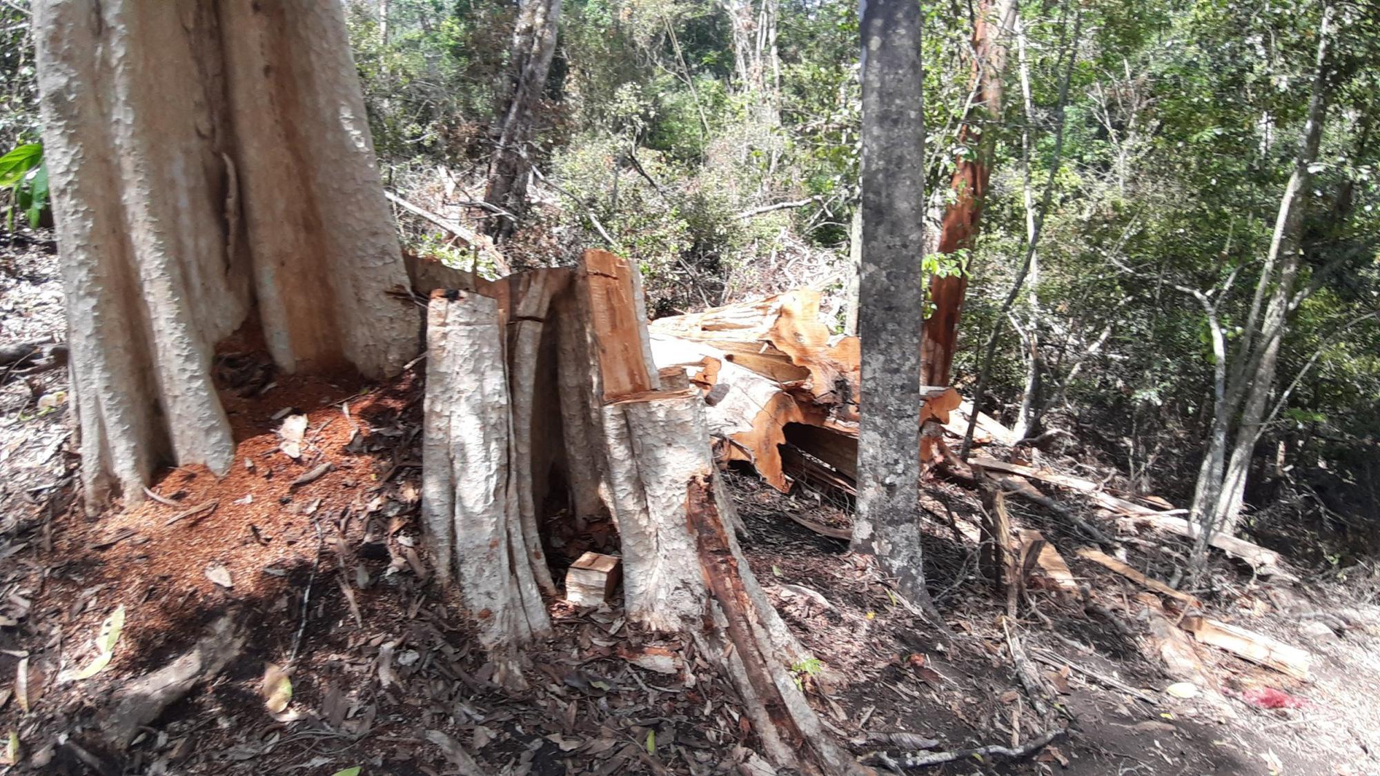 Gia Lai: Phá rừng quy mô lớn, lâm tặc ngang nhiên đốt gốc phi tang - Ảnh 12.