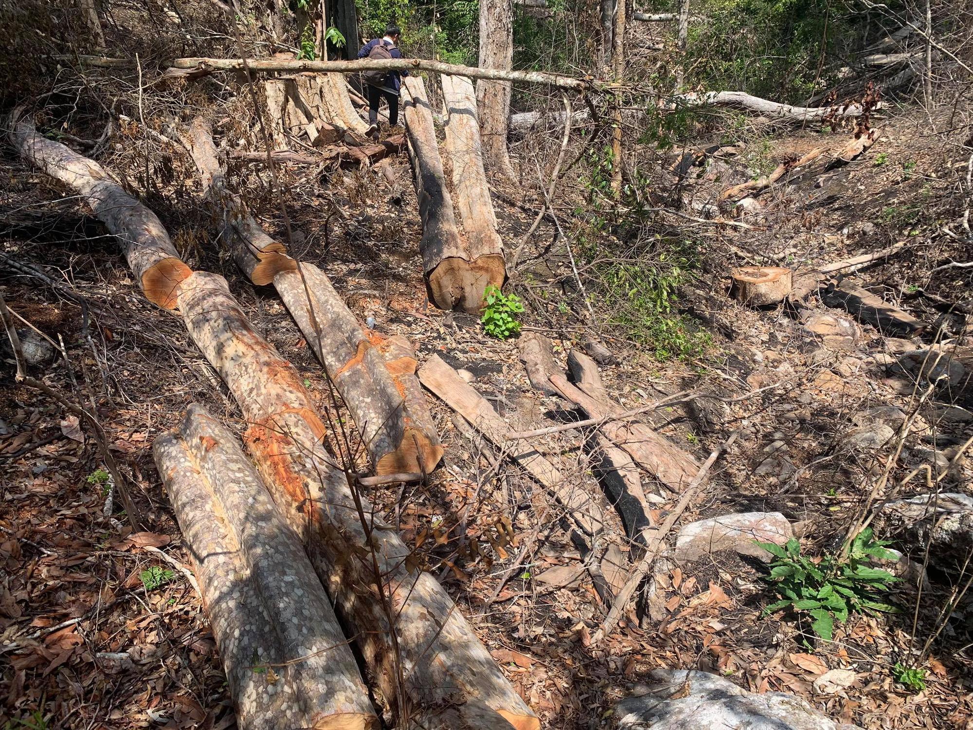 Gia Lai: Phá rừng quy mô lớn, lâm tặc ngang nhiên đốt gốc phi tang - Ảnh 5.