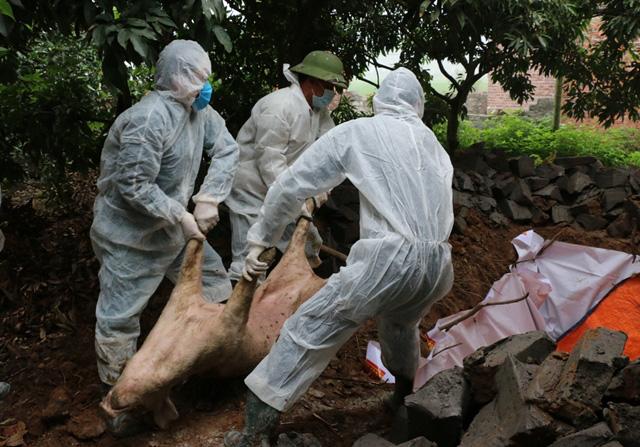 Quảng Ninh: Mua giống trôi nổi, lại bùng phát dịch tả lợn Châu Phi - Ảnh 1.