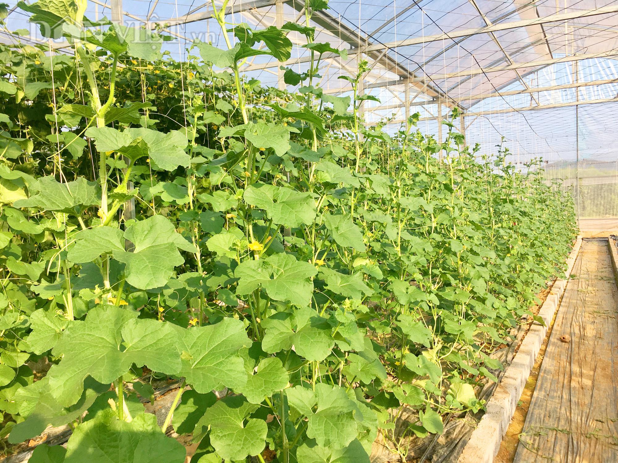 Hệ thống nhà kính trồng dưa lưới của gia đình anh Nguyễn Văn Tấn. Ảnh: PV