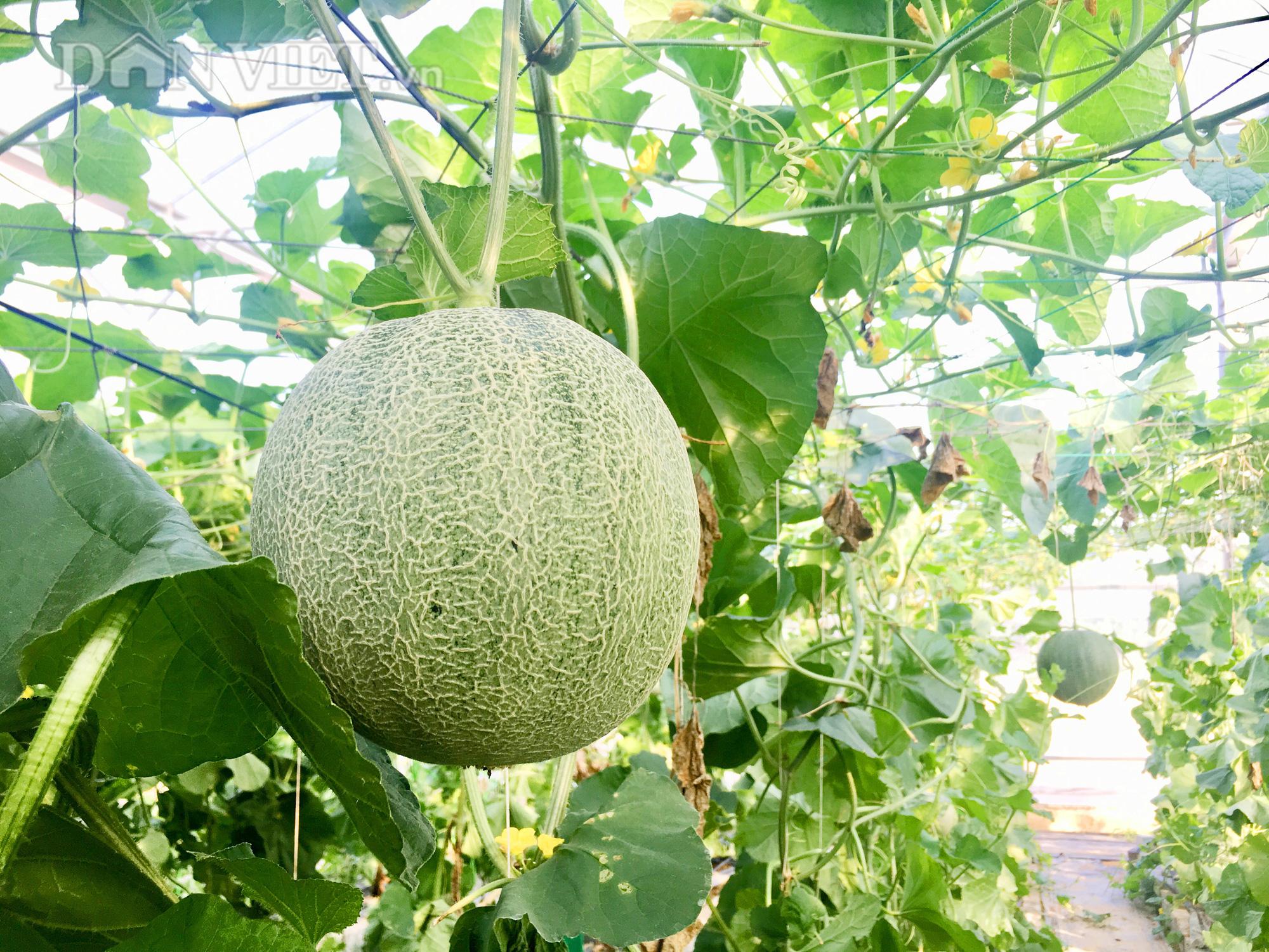 Những quả dưa lưới chất lượng cao, có trọng lượng trên 2kg gần đến ngày thu hoạch trong khu nhà kính của gia đình anh Tấn. Ảnh: PV