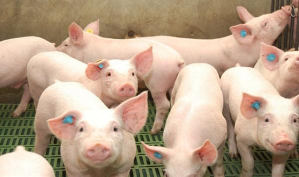 Rón rén lên tivi mua thịt lợn - Ảnh 1.