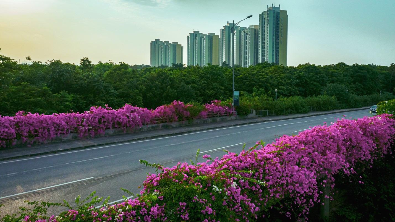 Vệt hoa giấy nhuộm tím một góc khu đô thị Ecopark - Ảnh 1.