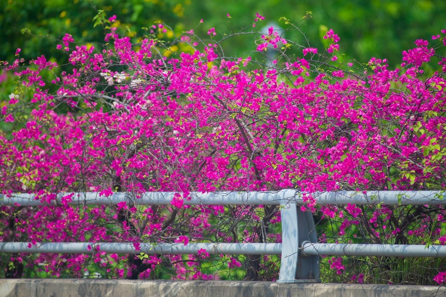 Vệt hoa giấy nhuộm tím một góc khu đô thị Ecopark - Ảnh 4.