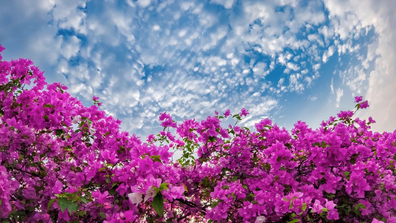 Vệt hoa giấy nhuộm tím một góc khu đô thị Ecopark - Ảnh 7.