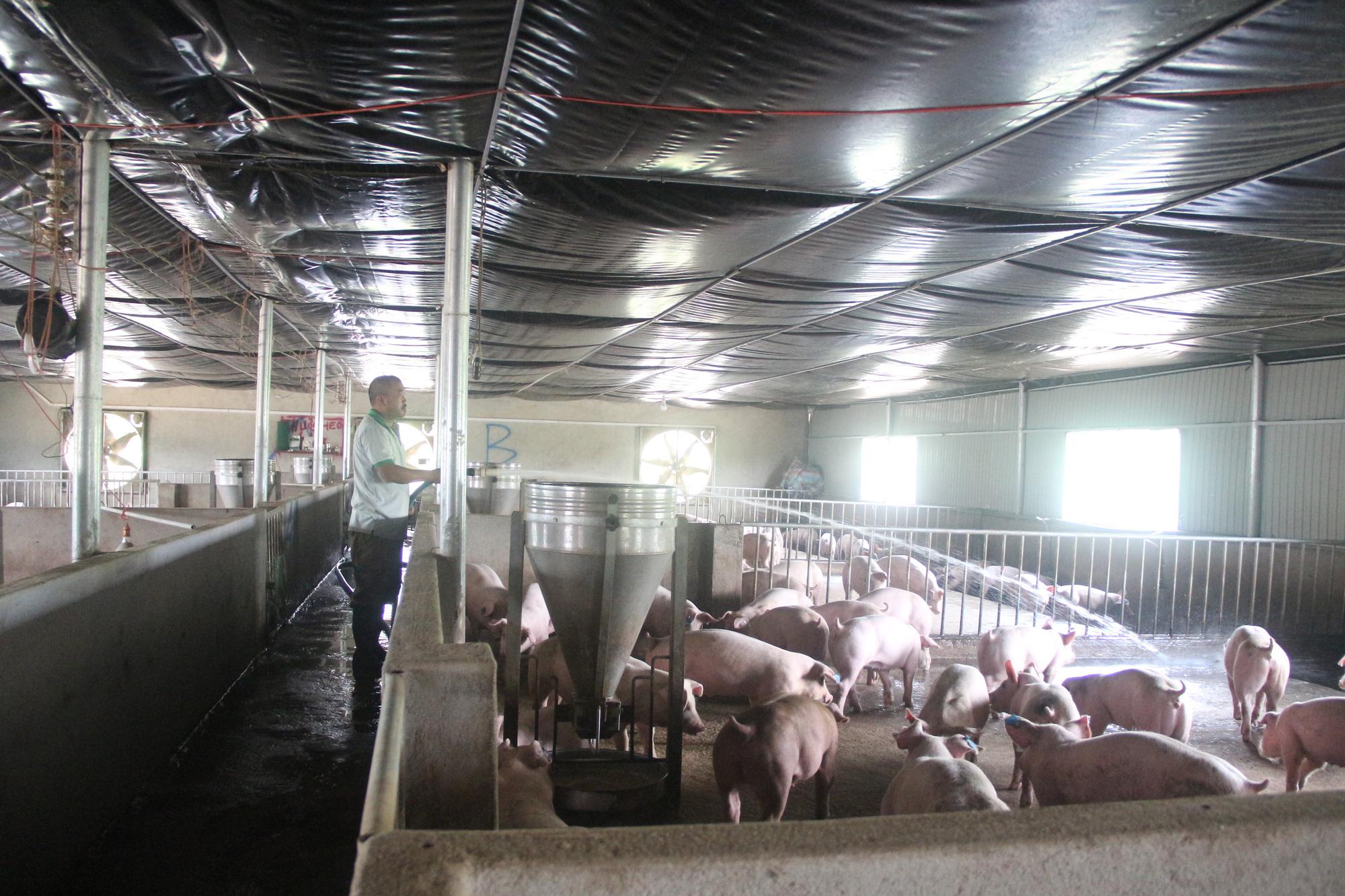 Toàn bộ hệ thống chuồng nuôi lợn của anh Thành đều được xây dựng theo mô hình của Đan Mạnh. Nhiệt đọ được duy trì ở mức  20-27 độ.