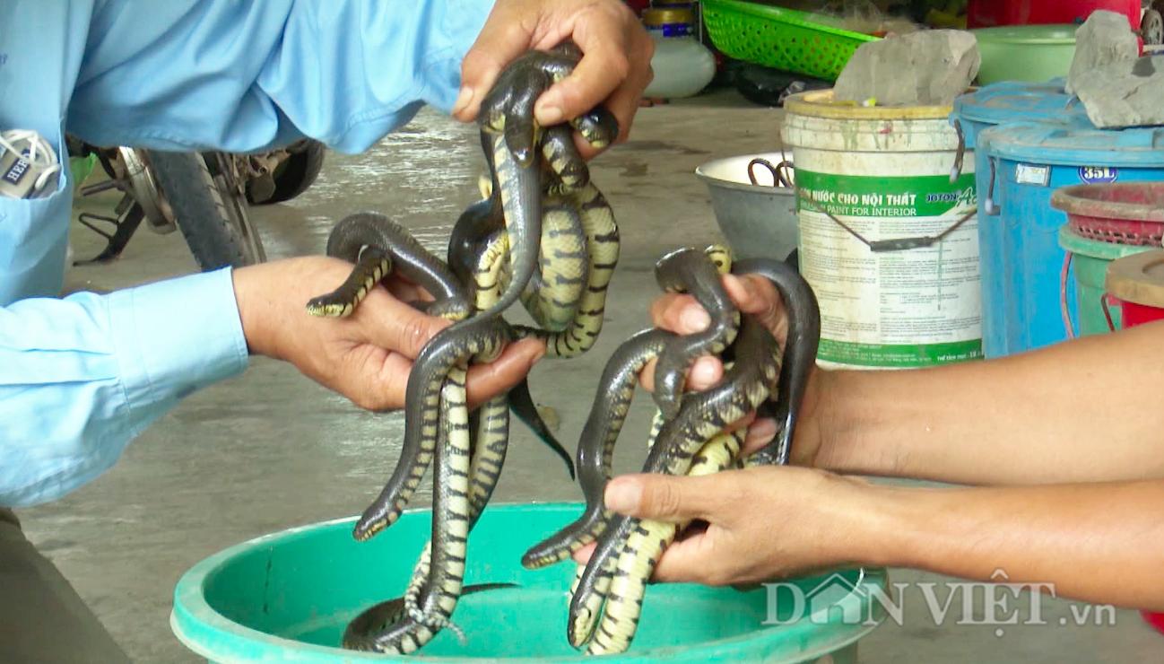 Nuôi rắn trong can nhựa, nông dân Hậu Giang thu lãi đậm mỗi năm - Ảnh 5.