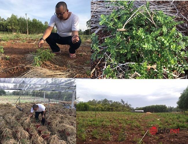 """""""Hô biến"""" sọ chó - loài cây mọc hoang thành đặc sản, 9X Quảng Ngãi bán gần triệu đồng mỗi kg - Ảnh 3."""