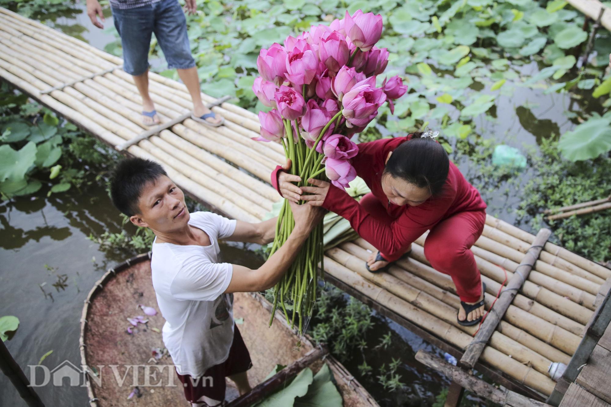Đi tìm sự thật về loài hoa sen Hồ Tây - Ảnh 2.