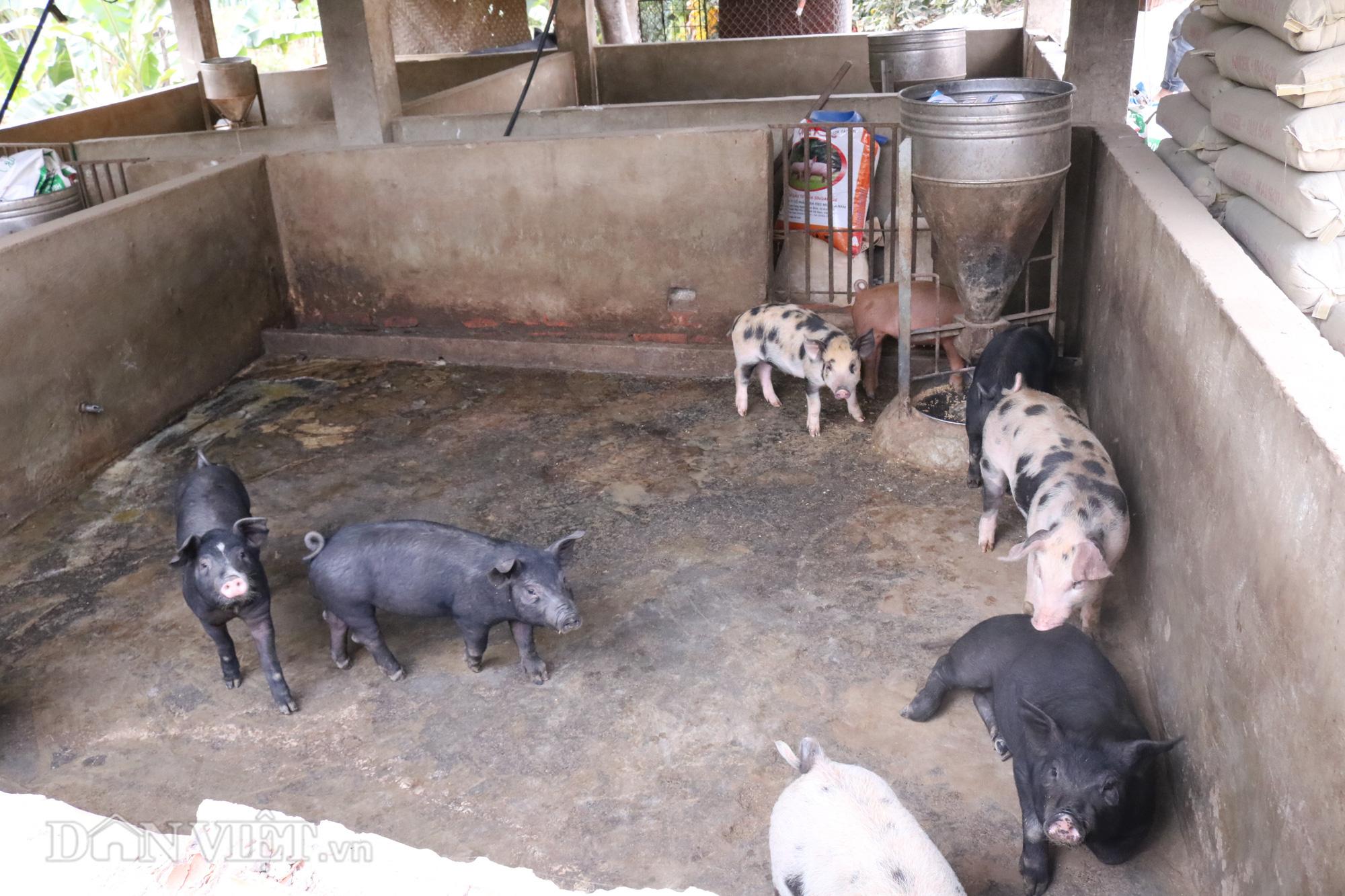 """""""Bỏ túi"""" hơn triệu mỗi năm từ nuôi lợn - Ảnh 4."""