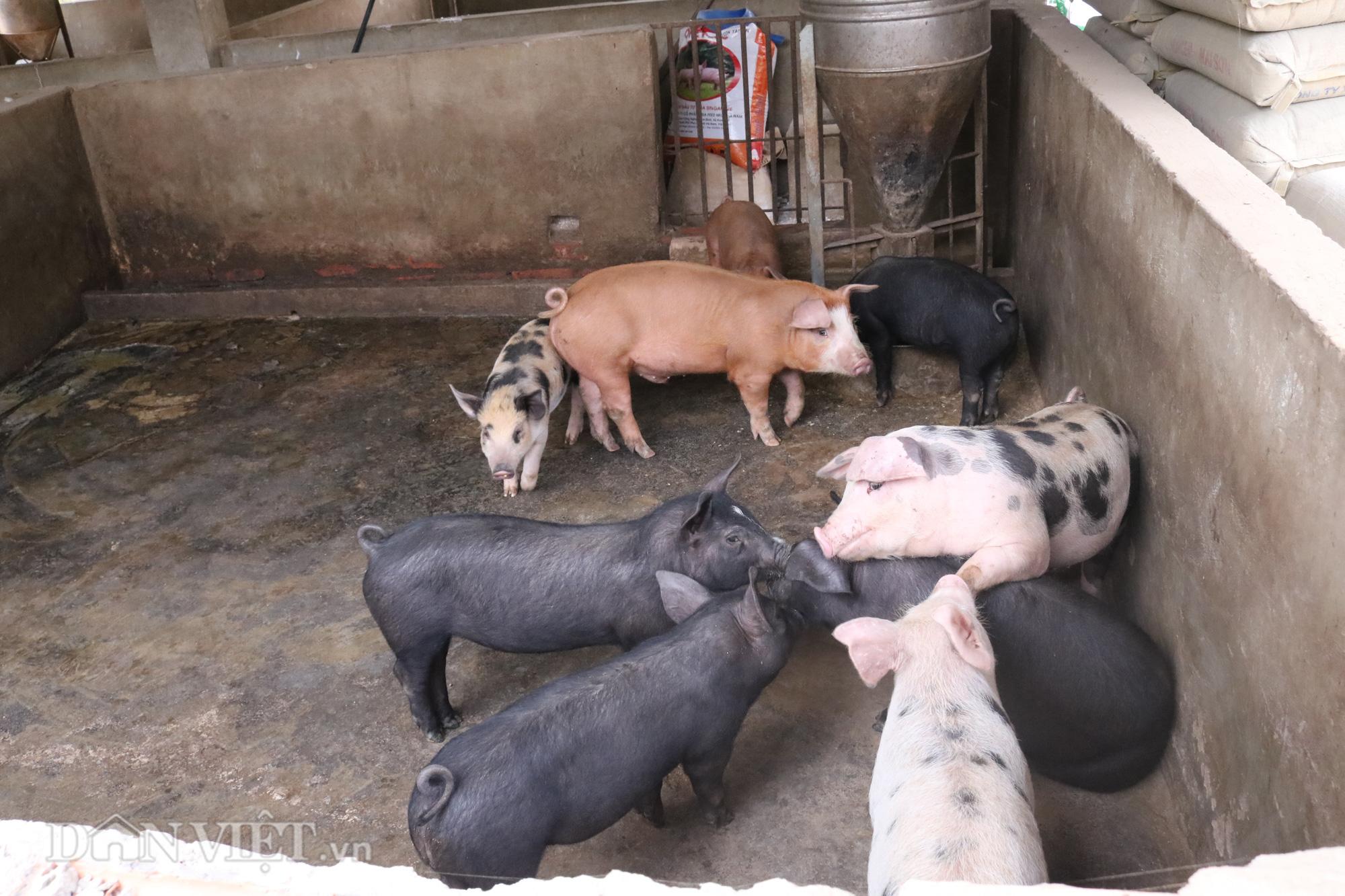 """""""Bỏ túi"""" hơn triệu mỗi năm từ nuôi lợn - Ảnh 3."""