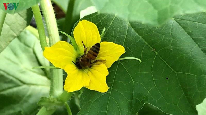 Hậu Giang: Thật kì lạ nuôi ong không phải để lấy mật, mà chính là thụ phấn cho... dưa - Ảnh 2.