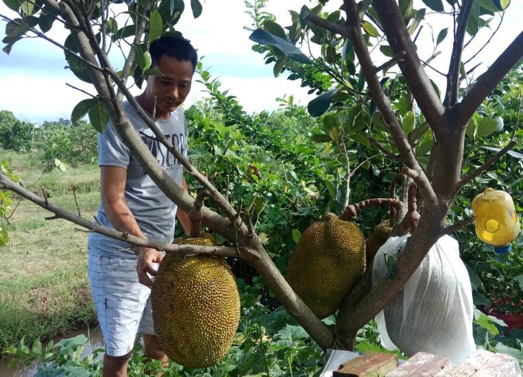 Thái Bình: Bất ngờ trồng mít Thái trên đất cực xấu mà thu được nửa tỷ đồng mỗi năm - Ảnh 1.