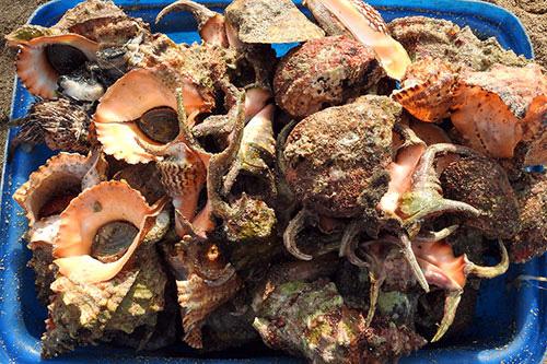 Bình Thuận: Tha hồ ngắm, chọn lựa những con ốc biển tươi ngon và hải sâm lạ mắt ở đảo Phú Quý - Ảnh 4.