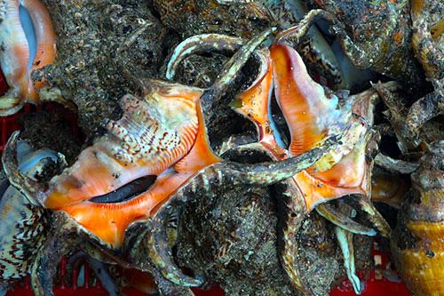 Bình Thuận: Tha hồ ngắm, chọn lựa những con ốc biển tươi ngon và hải sâm lạ mắt ở đảo Phú Quý - Ảnh 5.