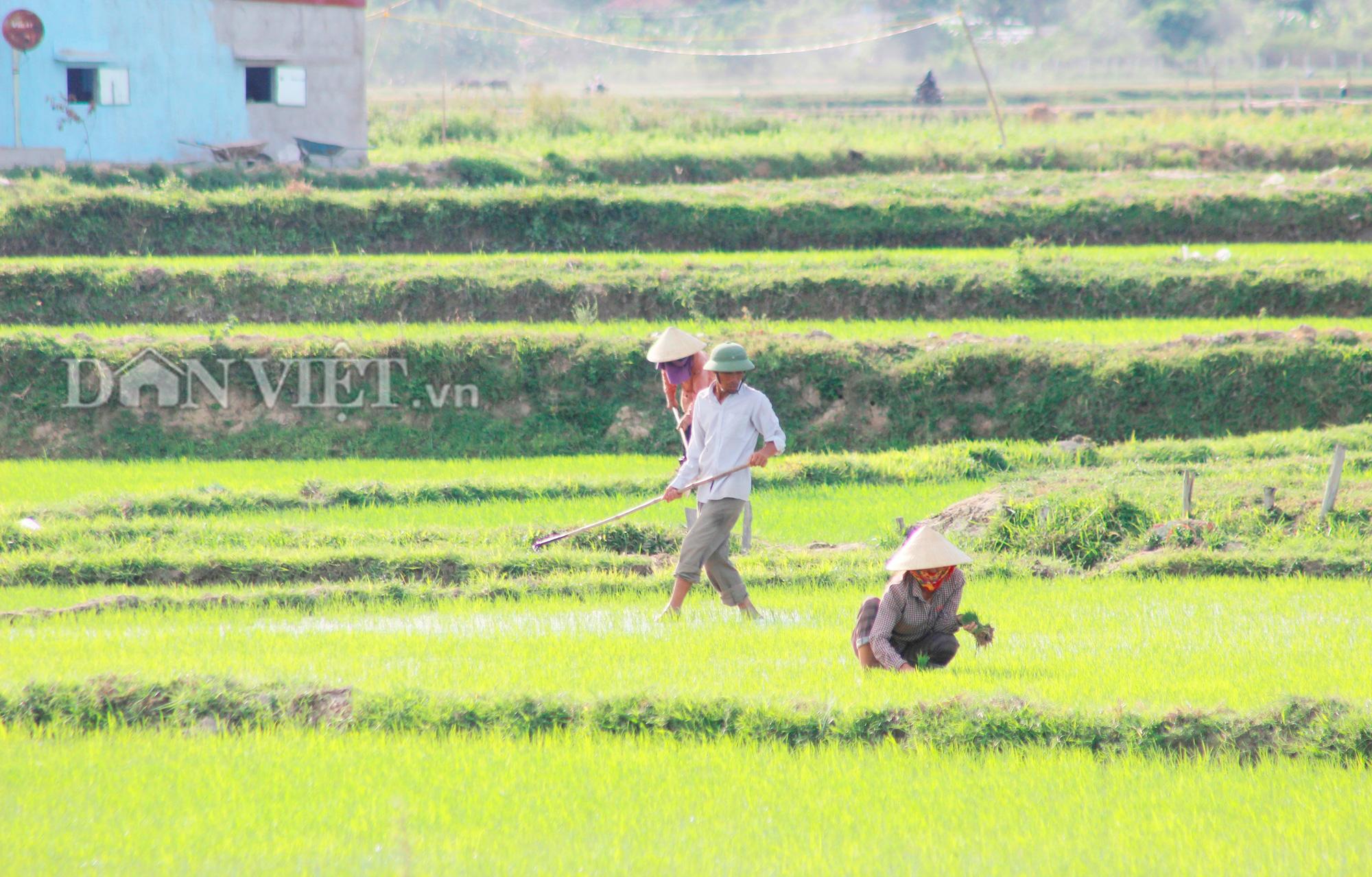 """Quảng Bình: Nông dân vật vã ra đồng dưới cái  nắng """"như đổ lửa""""  - Ảnh 3."""